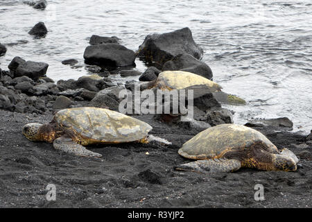 Ridleys Sea Turtles on black sand beach, Big Island, Hawaii - Stock Photo