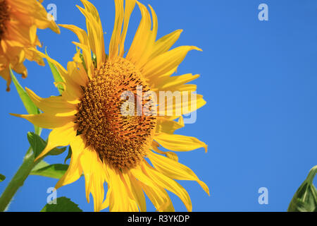 Vibrant Yellow Sunflower Against Vivid Blue Sky with Free Space for Text or Design - Stock Photo