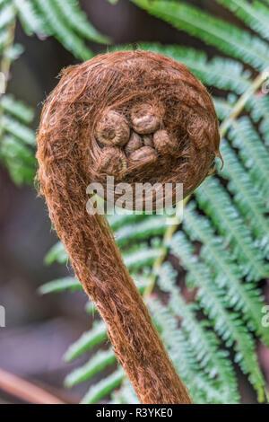 USA, Hawaii, Big Island, Volcanoes Nanional Park, Tree Fern Fiddlehead - Stock Photo