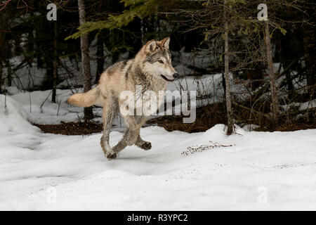 Gray Wolf or Timber Wolf Running in snow, (Captive) Canis lupus, Montana - Stock Photo