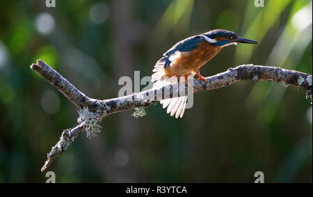 Common Kingfisher sitting on a perch stretching its wings , backlit
