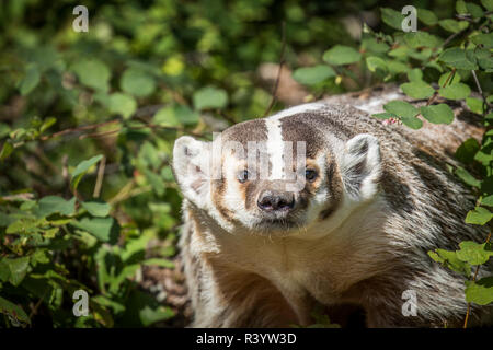 American Badger, Montana - Stock Photo