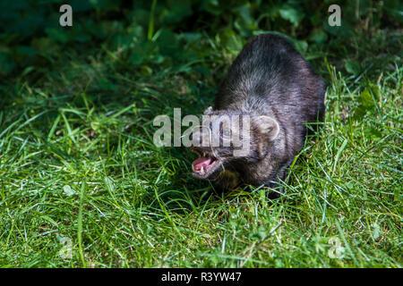 Glacier National Park, Montana. Weasel - Stock Photo