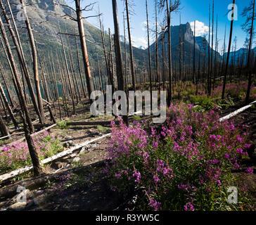 Glacier National Park, Montana. Alpine flower - Stock Photo