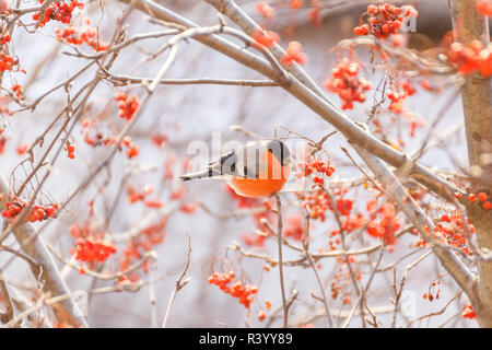 Bullfinch on a rowan branch at winter - Stock Photo