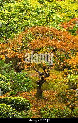 Japanese Maple In Autumn, Portland Japanese Garden, Portland, Usa - Stock Photo