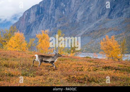 Reindeer (Rangifer tarandus) in autumnal mountain landscape, Stora Sjöfallet National Park, Laponia, Norrbotten, Lapland - Stock Photo