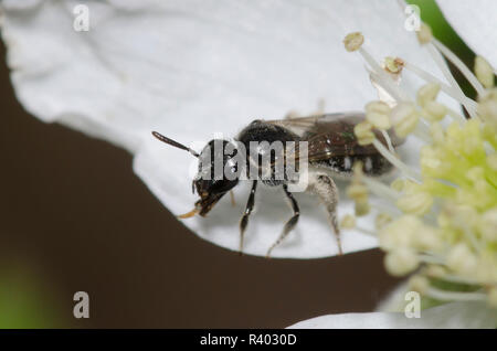 Sweat Bee, Lasioglossum pectorale, female on blackberry, Rubus sp., blossom - Stock Photo