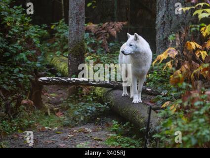 Grey wolf walking on a log at Northwest Trekpark, Eatonville, Washington - Stock Photo