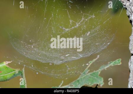 Sheetweb Spider, Family Linyphiidae, web - Stock Photo