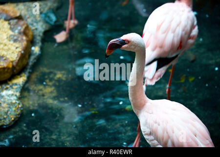 USA, Minnesota, Apple Valley, Minnesota Zoo, Lesser Flamingo - Stock Photo