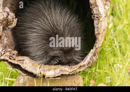USA, Minnesota, Minnesota Wildlife Connection. Captive young porcupine in a log. - Stock Photo