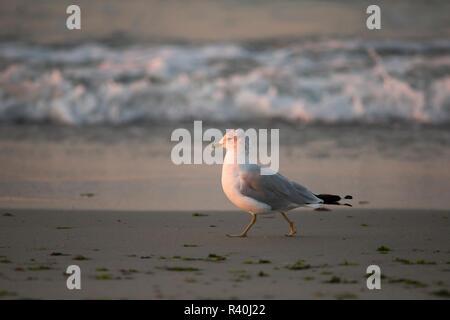 Long Island, New York, USA. Ring-billed Gull walking on beach. - Stock Photo
