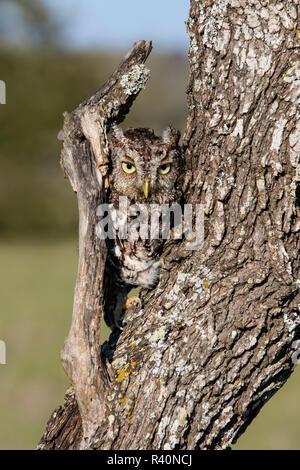 Eastern Screech Owl (Otus Asio) roosting in tree - Stock Photo