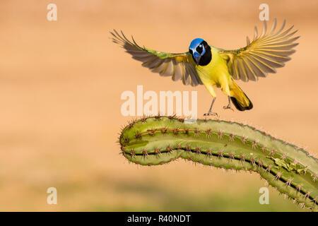 Green Jay (Cyanocorax Yncas) adult - Stock Photo