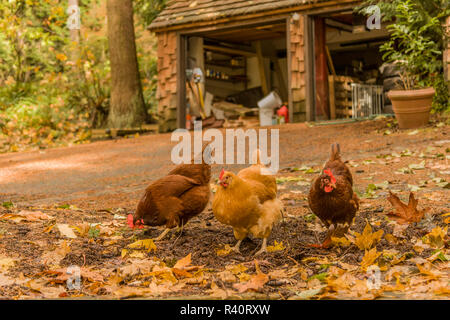 Issaquah, Washington State, USA. Free-ranging Buff Orpington and Rhode Island Red chickens foraging for bugs along a driveway. (PR) - Stock Photo