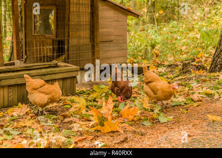Issaquah, Washington State, USA. Free-ranging Buff Orpington and Rhode Island Red chickens, foraging for bugs outside their coop. (PR) - Stock Photo