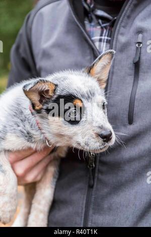 Issaquah, Washington State, USA. Man holding his 10 week old Australian Cattle dog puppy. (MR,PR) - Stock Photo