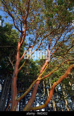 USA, Washington State. San Juan Islands, James Island. Madrona trees with colorful bark - Stock Photo