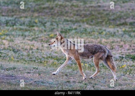 Coyote prowls through prairie dog town in Theodore Roosevelt National Park, North Dakota, USA - Stock Photo