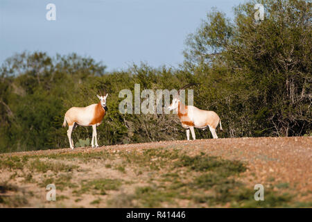 Scimitar-Horned Oryx (Oryx dammah) pair in Texas thornbrush habitat. - Stock Photo