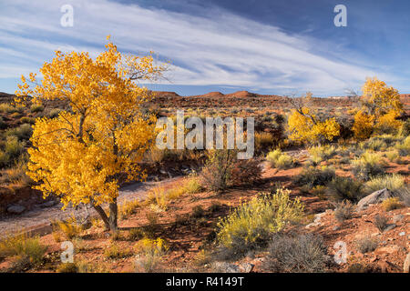 Cottonwood tree in fall color in wash, Valley of the Gods, Utah - Stock Photo