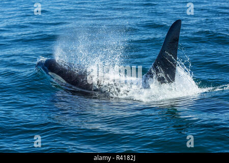 Large Male from Pod of resident Orca Whales (Orcinus orca) in Haro Strait near San Juan Island, Washington State, USA - Stock Photo