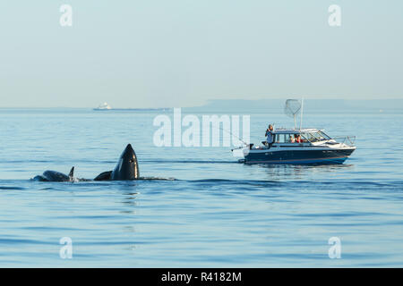 Spyhopping orca near Fishing Boat from Pod of resident Orca Whales (Orcinus orca) in Haro Strait near San Juan Island, Washington State, USA - Stock Photo