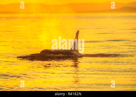 Large Male Orca at Sunset from Pod of resident Orca Whales (Orcinus orca) in Haro Strait near San Juan Island, Washington State, USA - Stock Photo