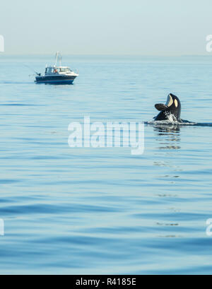 Spy hopping Juvenile Orca from Pod of resident Orca Whales (Orcinus orca) in Haro Strait near San Juan Island, Washington State, USA - Stock Photo