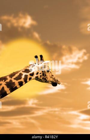 zebra portrait in the sunset - Stock Photo