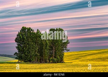 Trees and yellow canola field at sunrise, Palouse near Pullman, Washington State. - Stock Photo