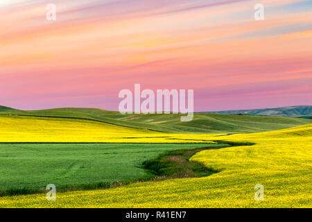 Yellow canola field at sunrise, Palouse near Pullman, Washington State. - Stock Photo
