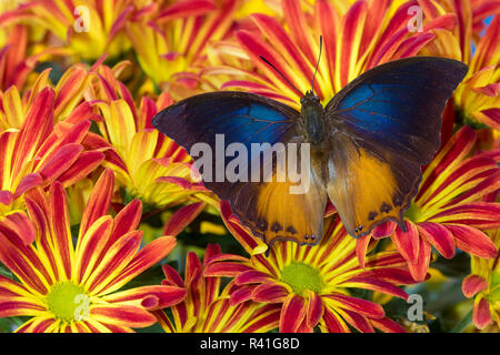Brush-footed butterfly, Charaxes mars on Mum Flowers - Stock Photo