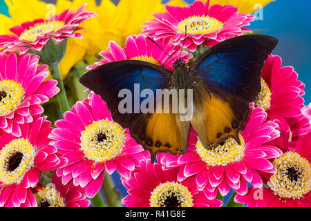 Brush-footed butterfly, Charaxes mars on Gerber Pink Daisy - Stock Photo