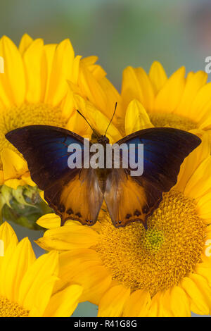 Brush-footed butterfly, Charaxes mars and sunflowers - Stock Photo