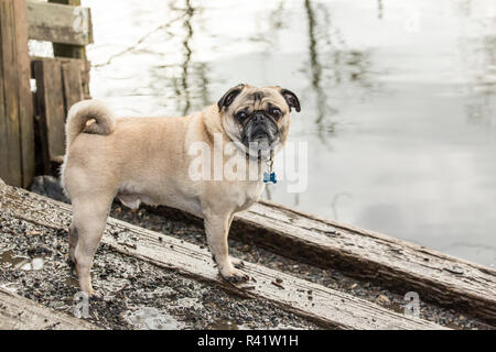 Redmond, Washington State, USA. Fawn-colored Pug posing by the Sammamish river in Marymoor Park. (PR) - Stock Photo