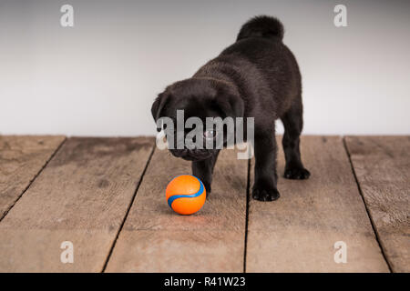 Fitzgerald, a 10 week old black Pug puppy looking at his ball. (PR) - Stock Photo