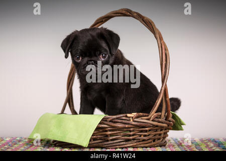 Fitzgerald, a 10 week old black Pug puppy sitting in a basket. (PR) - Stock Photo