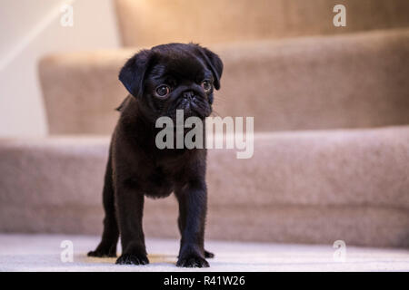 Fitzgerald, a 10 week old black Pug puppy standing on a carpeted stairwell. (PR) - Stock Photo