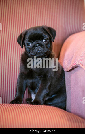 Fitzgerald, a 10 week old black Pug puppy sitting in an upholstered chair. (PR) - Stock Photo