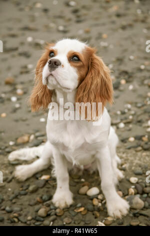 Seattle, Washington State, USA. Six month old Cavalier King Charles Spaniel puppy sitting very attentively at Alki beach. (PR) - Stock Photo