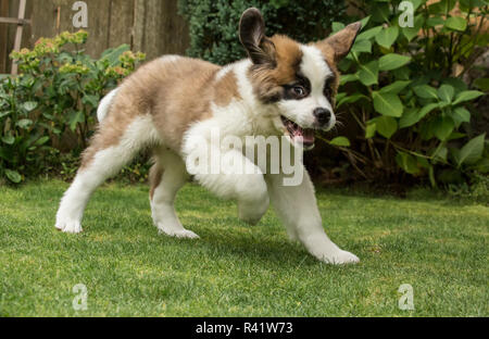 Renton, Washington State, USA. Three month old Saint Bernard puppy looking wild-eyed as he romps in his yard. (PR) - Stock Photo
