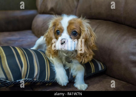 Six month old Cavalier King Charles Spaniel puppy resting on a pillow on a sofa. (PR) - Stock Photo