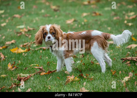 Issaquah, Washington State, USA. Six month old Cavalier King Charles Spaniel puppy playing outside on an Autumn day. (PR) - Stock Photo