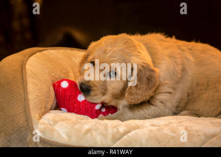 Eight week old Golden Retriever puppy chewing on a stuffed toy in his bed. (PR) - Stock Photo
