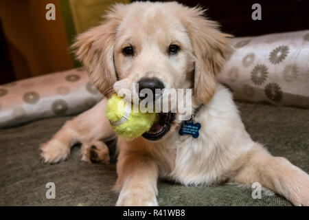 Portrait of four month old Golden Retriever puppy chewing on a tennis ball as he rests in his bed. (PR) - Stock Photo