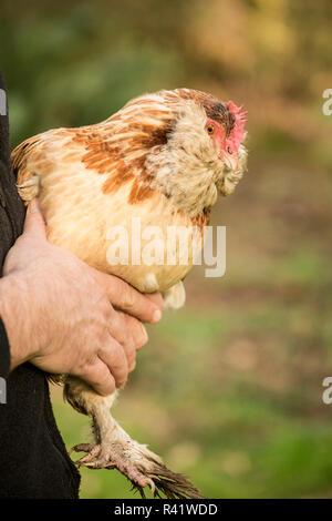 Issaquah, Washington State, USA. Man holding his Salmon Faverolles chicken. (PR,MR) - Stock Photo