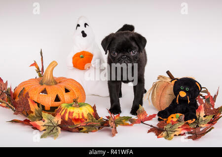 10 week old black Pug puppy surrounded by Halloween decorations. (PR) - Stock Photo