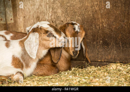 Issaquah, Washington State, USA. 12 day old mixed breed Nubian and Boer goat kids. (PR) - Stock Photo